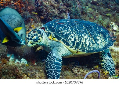 Hawksbill sea turtle eating algae with grey angelfish in Cozumel, Mexico