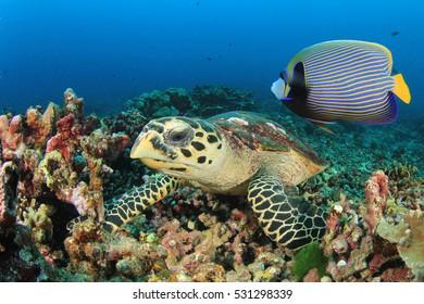 Hawksbill Sea Turtle and Emperor Angelfish