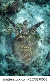 A Hawksbill sea turtle, Eretmochelys imbricata, swims in the clear waters above a reef in Komodo National Park. This tropical region is home to extraordinary marine biodiversity.