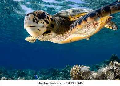 Hawksbill sea turtle (Eretmochelys imbricata) in blue lagoon of Indian Ocean - Maldives