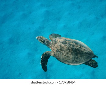Hawksbill sea turtle (Eretmochelys imbricata) swimming in the ocean water over the sand bottom