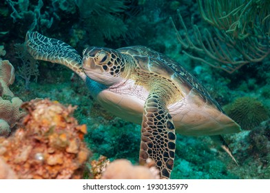 Hawksbill sea turtle (Eretmochelys imbricata imbricata) Roatan, Honduras