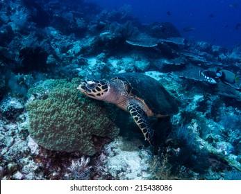 Hawksbill sea turtle (Eretmochelys imbricata) swimming close to the reef, Komodo, Indonesia.