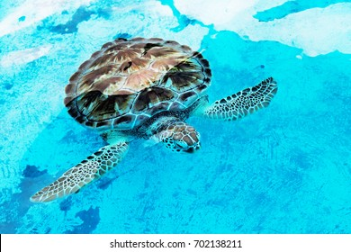 Hawksbill sea turtle Eretmochelys imbricata at a rehabilitation center in Cancun Mexico. The Hawksbill is a critically endangered sea turtle that lives in the oceans tropical reefs around the world