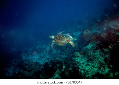The hawksbill sea turtle Eretmochelys imbricata
