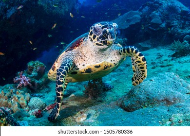 Hawksbill Sea Turtle feeding on soft corals on a tropical coral reef