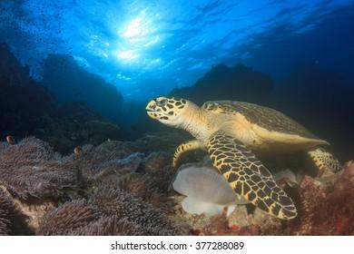 Hawksbill Sea Turtle feeding on coral