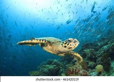 Hawksbill Sea Turtle, fish school and coral reef