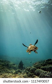 Hawksbill sea turtle going for a breath