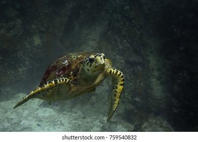 hawksbill sea turtle, Indian Ocean, Seychelles