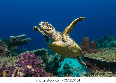 Hawksbill Sea Turtle looking at the photographer