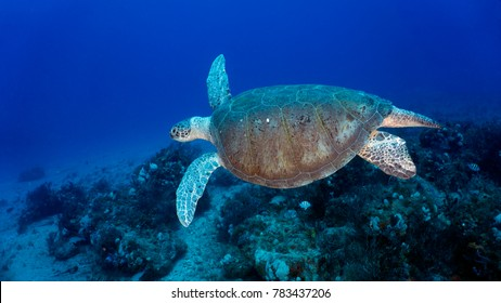 Hawksbill sea turtle near Juno Ledge, Juno Florida at 90 feet. June 29, 2017.