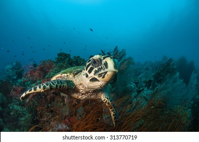 Hawksbill Sea Turtle on Beautiful Coral Reef