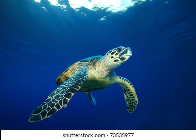 Hawksbill Sea Turtle on blue water background