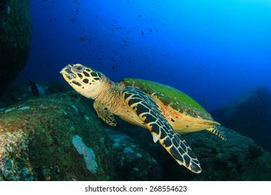 Hawksbill Sea Turtle on coral reef