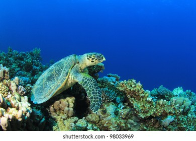 Hawksbill Sea Turtle on coral reef with blue water background
