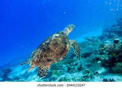 Hawksbill sea turtle. Red sea. Egypt.
