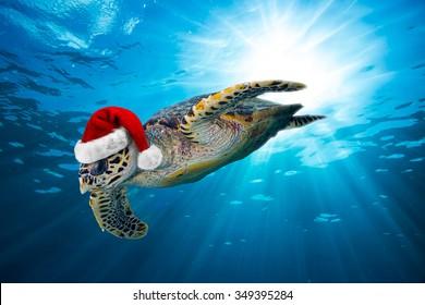 hawksbill sea turtle with santa hat in the ocean