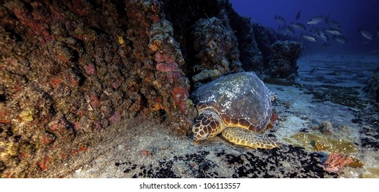 Hawksbill Sea Turtle sound asleep on the USCG Duane in Key Largo, Florida. A sunken shipwreck in the John Pennekamp State Park.