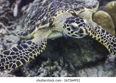 Hawksbill sea turtle at Surin national park in Thailand