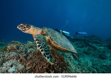 A Hawksbill sea turtle swimming away from scuba divers