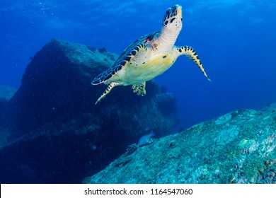 Hawksbill Sea Turtle swimming in blue water over a tropical coral reef