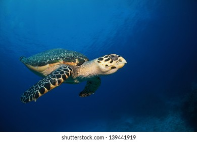 Hawksbill sea turtle swimming in the blue above the reef - Riviera Maya, Mexico