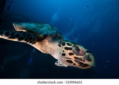 A Hawksbill sea turtle swimming close up