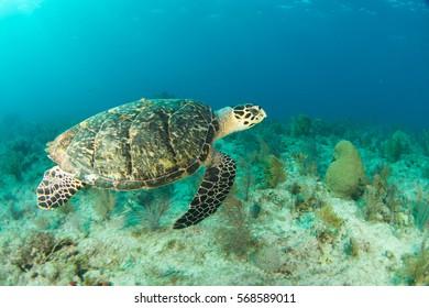 Hawksbill sea turtle swims in the Florida Keys