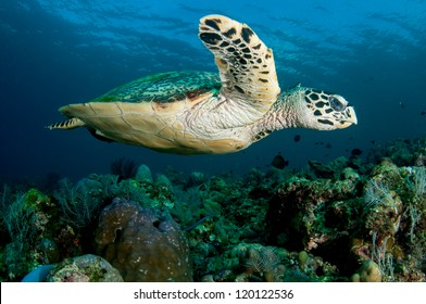 Hawksbill sea turtle swims over a tropical coral reef