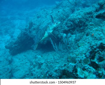 A hawksbill sea turtle swims over a reef in Florida