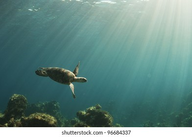 A hawksbill sea turtle swims over a coral reef in the Bahamas as the sun beams down