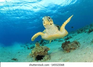 Hawksbill Sea Turtle underwater in ocean