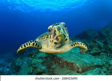 Hawksbill Sea Turtle underwater on ocean coral reef