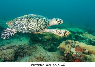 Hawksbill Sea Turtle-Eretmochelys imbriocota, picture taken in Broward County Florida