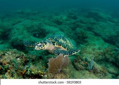 Hawksbill Sea Turtle-Eretmochelys imbriocota, picture taken in Broward County, Florida