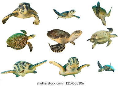 Hawksbill Sea Turtles isolated on white background