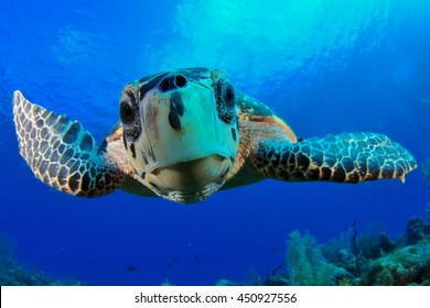 Hawksbill Turtle Close Up.