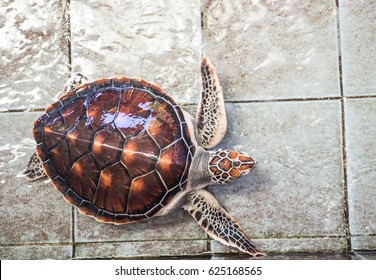 Hawksbill turtle in conservation center.