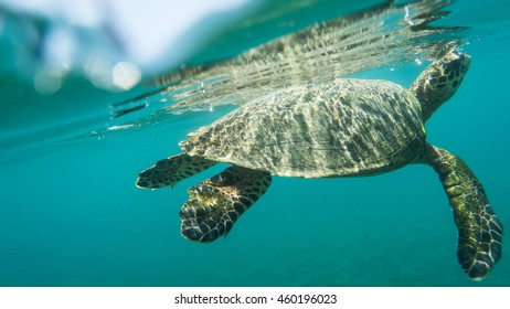 Hawksbill Turtle directly under the surface of the water