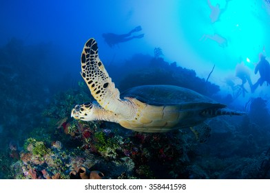 Hawksbill Turtle with Diver Silhouette