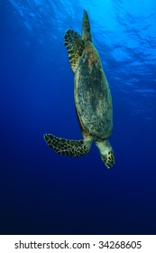 Hawksbill Turtle dives down in blue water
