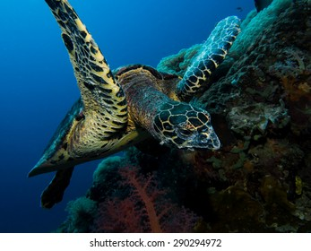 Hawksbill turtle eating from a bubble coral.