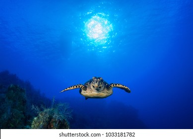A hawksbill turtle enjoys cruising through his underwater domain above a pristine tropical reef. The coral grows under the sun that can be seen in the sky through the blue ocean