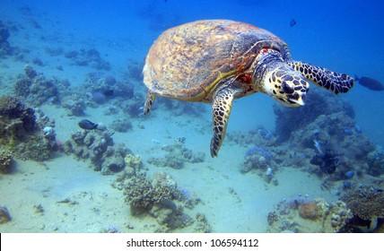 Hawksbill turtle (Eretmochelys imbricata) swimming