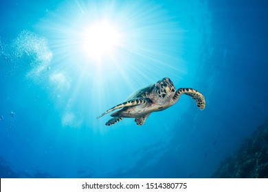 Hawksbill turtle (Eretmochelys imbricata) swims above coral reef basking in the sun rays in clear water