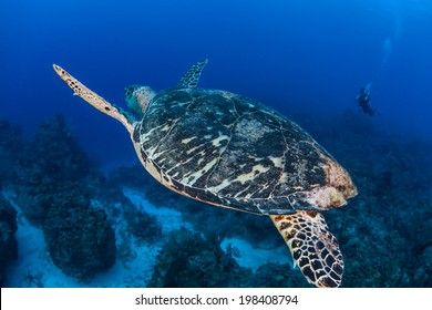A Hawksbill turtle (Eretmochelys imbricata) swims above a healthy coral reef off the coast of Belize. This species of sea turtle is critically endangered but is found worldwide in tropical seas.