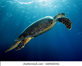 Hawksbill turtle (Eretmochelys imbricata). Taken in Red Seai Egypt.