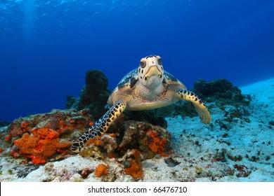 Hawksbill Turtle (Eretmochelys imbriocota) in Cozumel Mexico