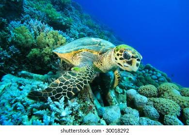 Hawksbill Turtle feeding on coral